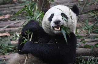 Illustration for article titled Secret Lives of Pandas Revealed by Electronic Stalking