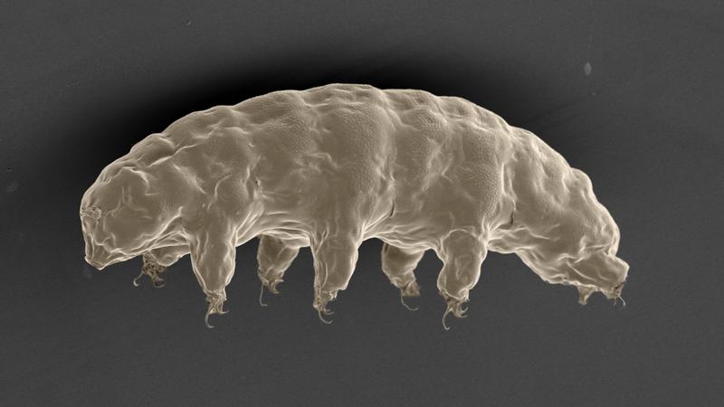 A scanning electron microscope image of the incredible tardigrade. (Credit: Tanaka S, Sagara H, Kunieda)