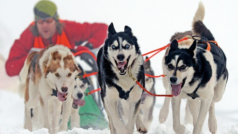 Illustration for article titled This Sled Dog Is Stealing Your Soul with Its Hypnotic Ice-Storm Eyes