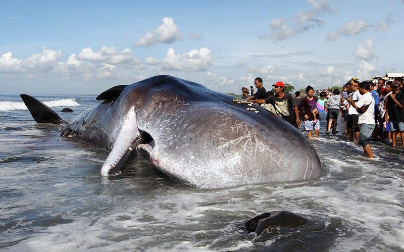 Un cachalote hallado muerto en una playa de Indonesia en 2016.