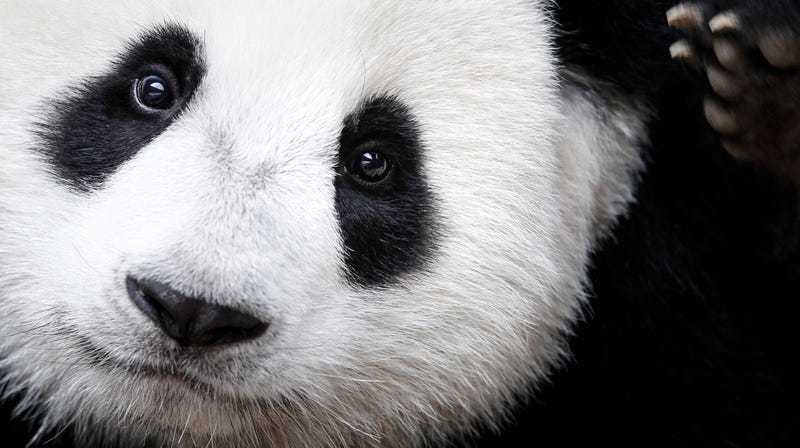 Our love for panda's cute furry face has helped its population increase, but what about the rest of the world's wildlife?