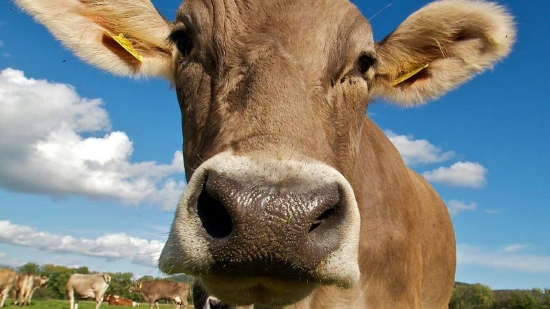 There Is No Safe Way to Kiss a Cow