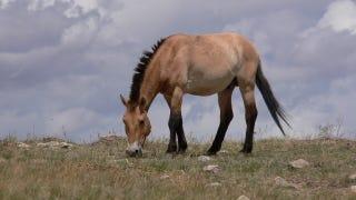 Przewalski's horse. (Image: Lee Boyd)