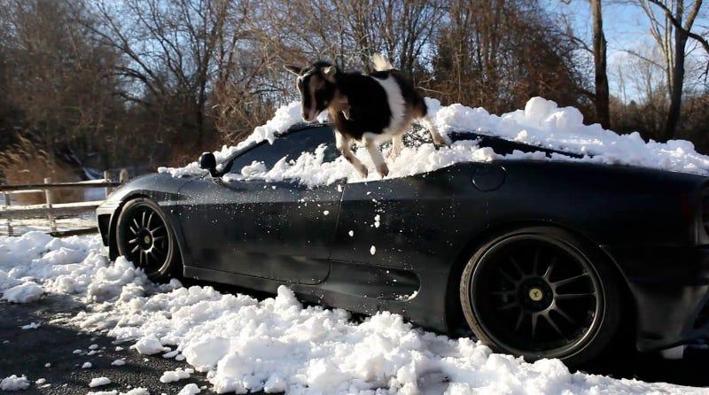 Illustration for article titled Goats Atop Ferraris, Part Deux: Snowpocalypse Edition