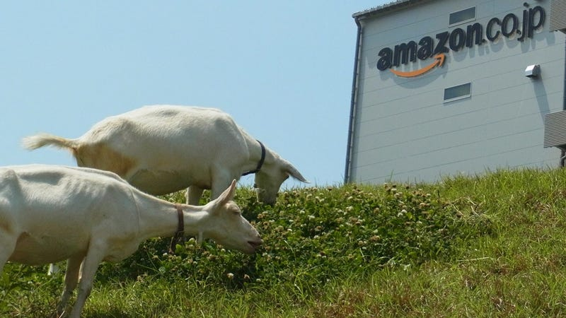Illustration for article titled Goats Work at Amazon Japan. Like, Actual Goats.
