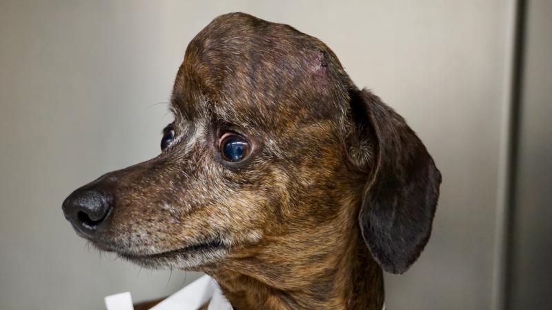 Illustration for article titled Salvan la vida de un perro con un tumor cerebral al reemplazar el 70% del cráneo en impresión 3D