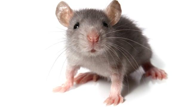 Gay Mice 66
