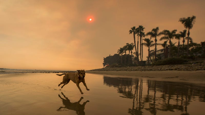A dog frolics near 2017's Thomas Fire in California
