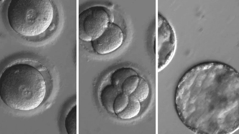 Edited human embryos. Image: OHSYU