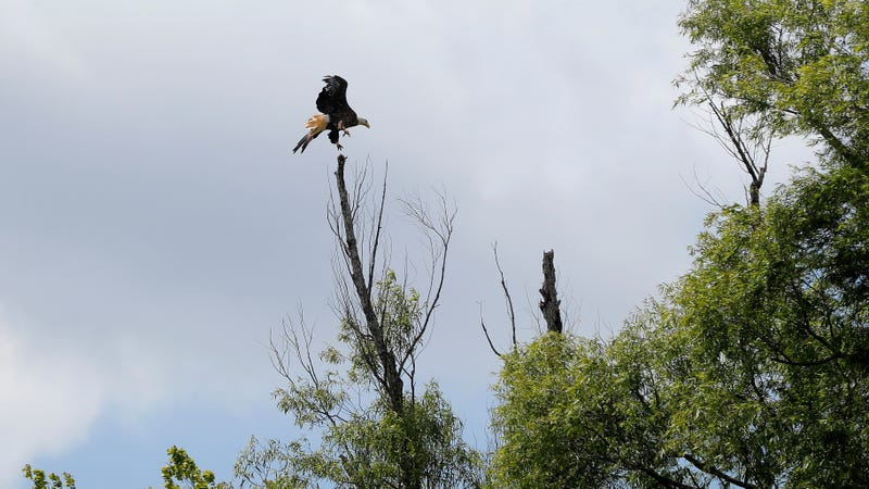 A bald eagle, one of the many wonders a person can find in the Atchafalaya Basin.