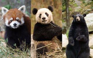 Illustration for article titled Bear vs Bear vs Bear
