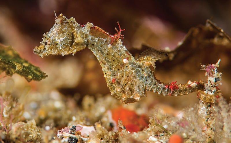 Illustration for article titled Esta nueva especie de caballito de mar es tan pequeña que ha permanecido años oculta a simple vista