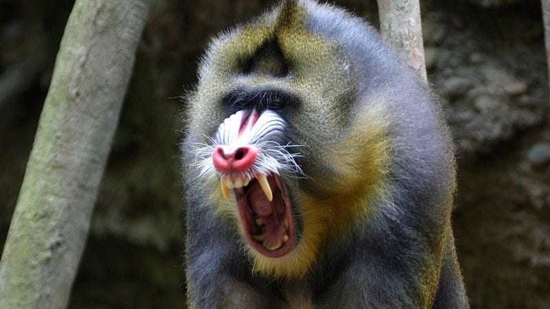 A screaming baboon.