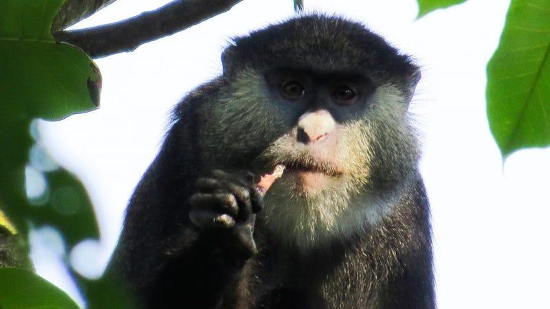 Mmmm, that's some good bat (Image: Felix Angwella / Gombe Hybrid Monkey Project)