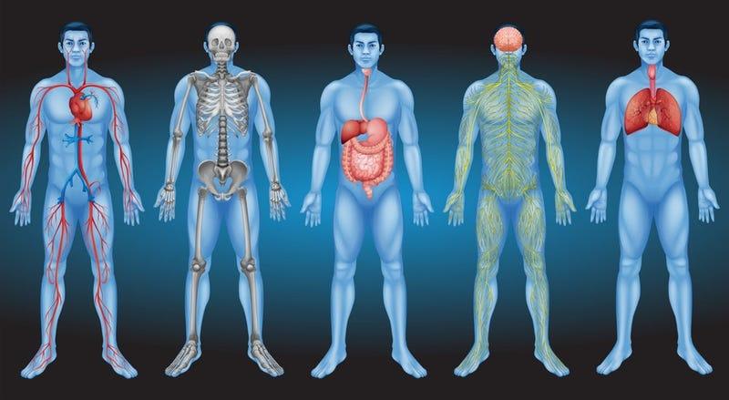 Illustration for article titled Qué es exactamente el intersticio, el posible nuevo órgano humano que podría revolucionar la lucha contra el cáncer