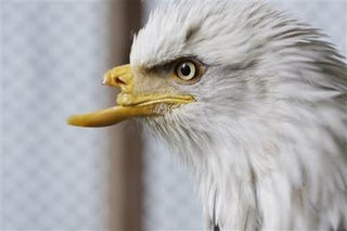 Illustration for article titled Eagle With Prosthetic Beak Will Be Better, Stronger, Faster