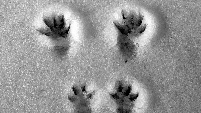 Illustration for article titled What Animal Tracks Mean For You