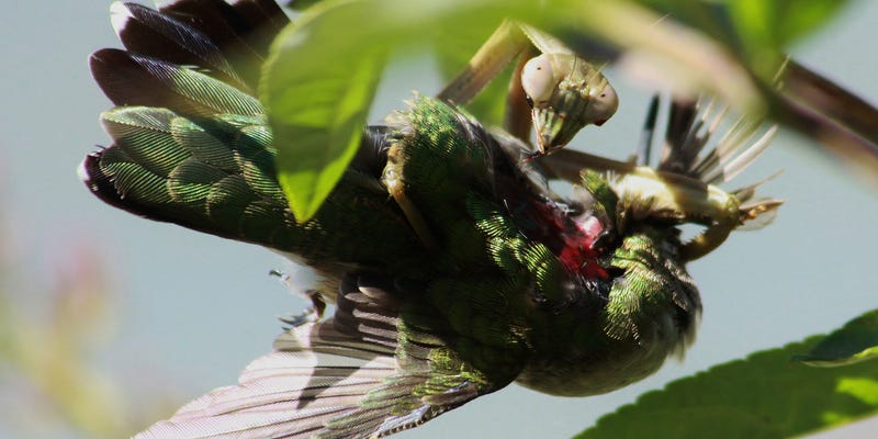"""A praying mantis making a meal of an unfortunate Ruby-throated Hummingbird (Image: """"What's That Bug?"""", Randy Anderson/University of Basel)."""