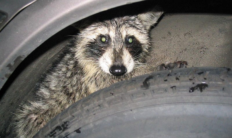 Drunk Navy Guy Didn T Really Use A Raccoon To Trick His