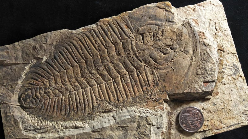 Meet the New King of Trilobites, R. rex