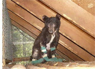 Illustration for article titled Bear Cub Rescued in Washington Wildfire Recovering Nicely