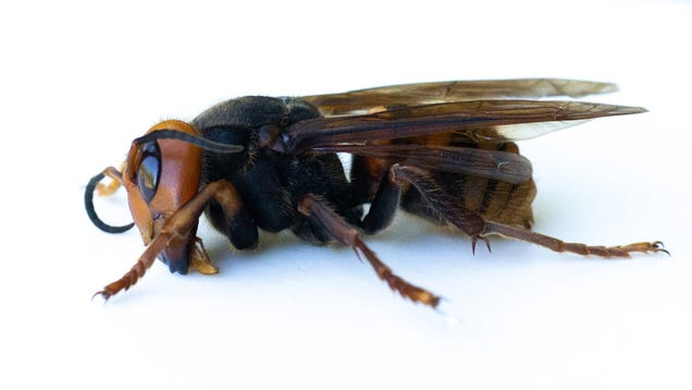 Just in Time for  Slaughter Phase,  Scientists Find First Murder Hornet Nest in the U.S.