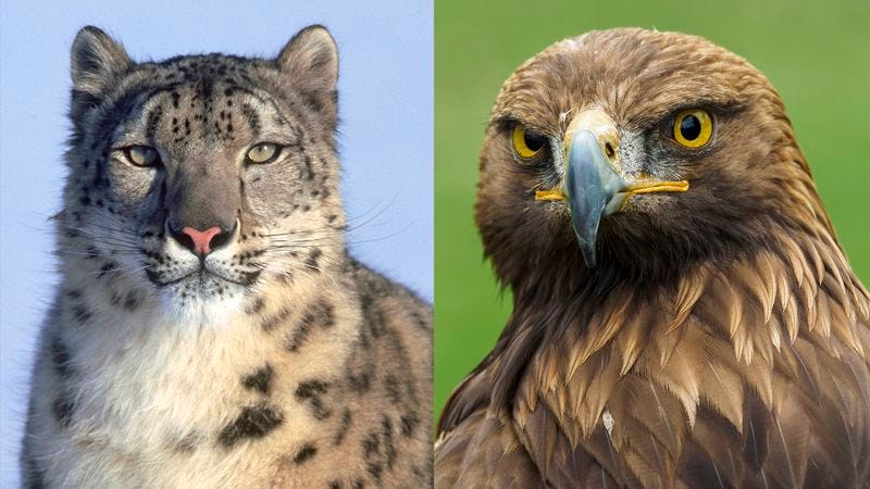 Illustration for article titled 'Planet Earth II' Finale Finally Resolves Will-They/Won't-They Storyline Between Snow Leopard, Golden Eagle