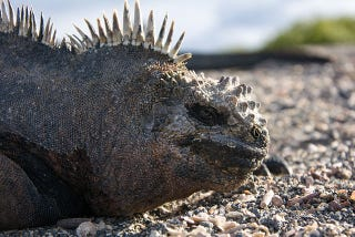 Illustration for article titled Marine Iguanas Can Literally Make Themselves Shrink