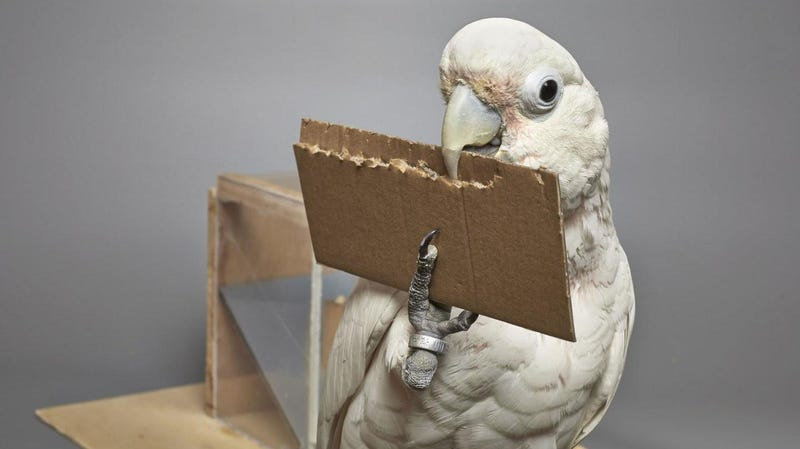 A Goffin cockatoo making a tool.