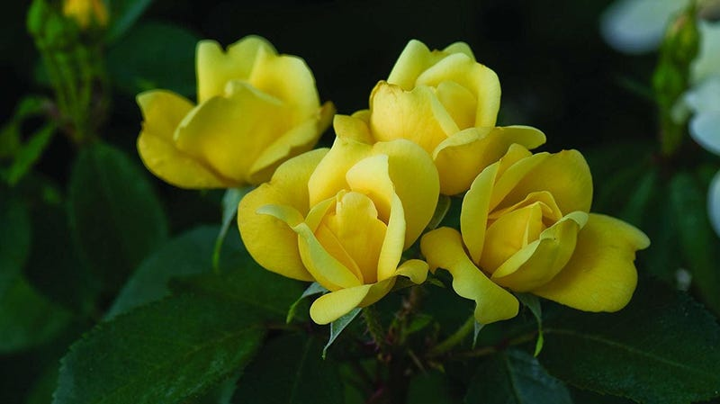 The Sunny Knock Out Rose, Yellow, 1 Bare Root Plant | $17 | Amazon