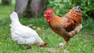 Illustration for article titled These Chickens Are Our First Line of Defense Against West Nile Virus