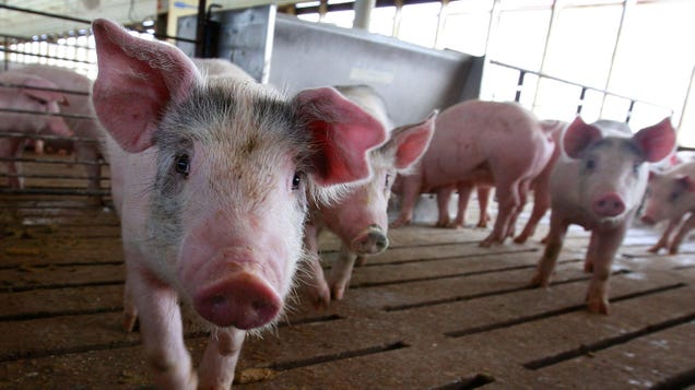 Ebola-Like Pig Illness Pops Up in Germany, Doesn t Pose a Threat to Humans