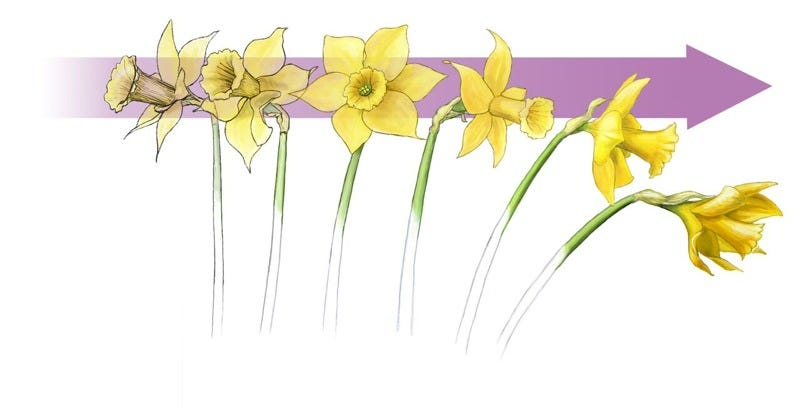 Daffodils have a unique structure that reduces drag. Image: Sally J. Bensusen/Visual Science Studio, bensusen@visualsciencestudio.com. Used with permission.