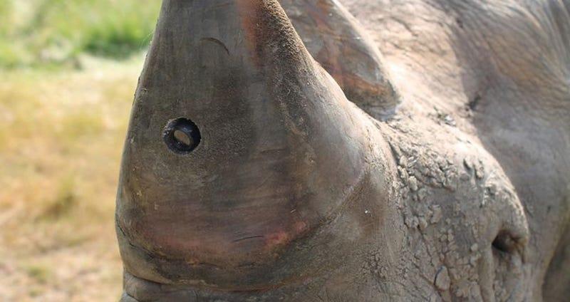 Illustration for article titled Proponen instalar cámaras de vigilancia en el cuerno de los rinocerontes