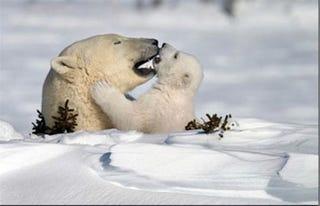 Illustration for article titled Kánikula extra: sóher volt az ügyvéd, el is ragadta a jegesmedve