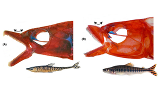 Illustration for article titled Genetic Analysis Shows That Fin-Eating Fish Are Complete Assholes