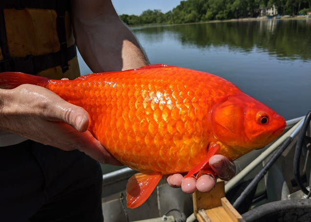 Stop Dumping Your Pet Goldfish Into Lakes