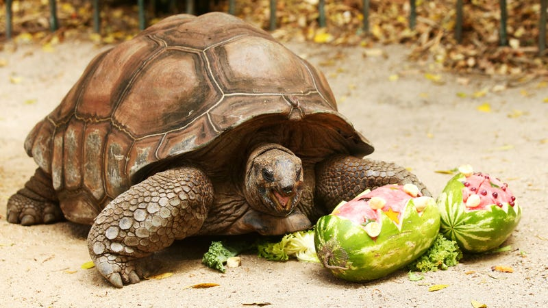 Image of another tortoise via Getty.