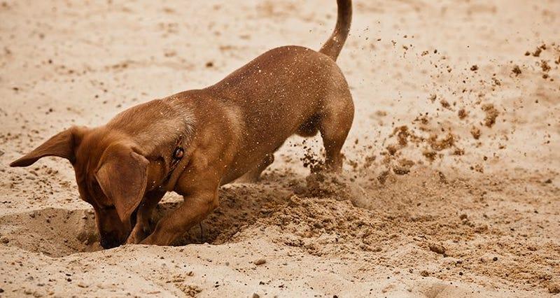 Illustration for article titled Qué es lo que hace que a los perros les encante cavar en todas partes, según la ciencia