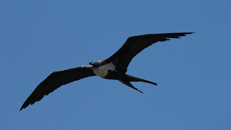 Catching some z's while in flight: a frigatebird with an EEG measuring device strapped to its head. (Image: B. Voirin)