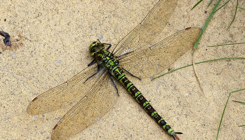 Image result for female dragon flies fake death