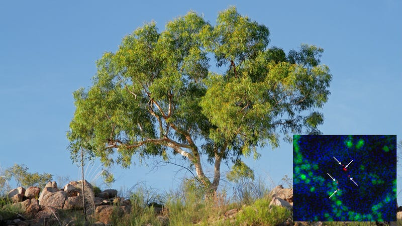 australian trees how to find buried gold using trees