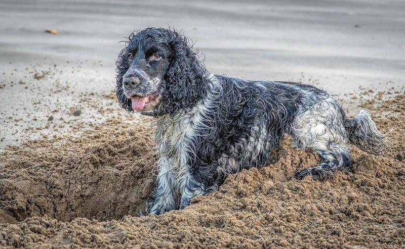 Illustration for article titled Por qué tu perro excava compulsivamente (y cómo hacer que pare)