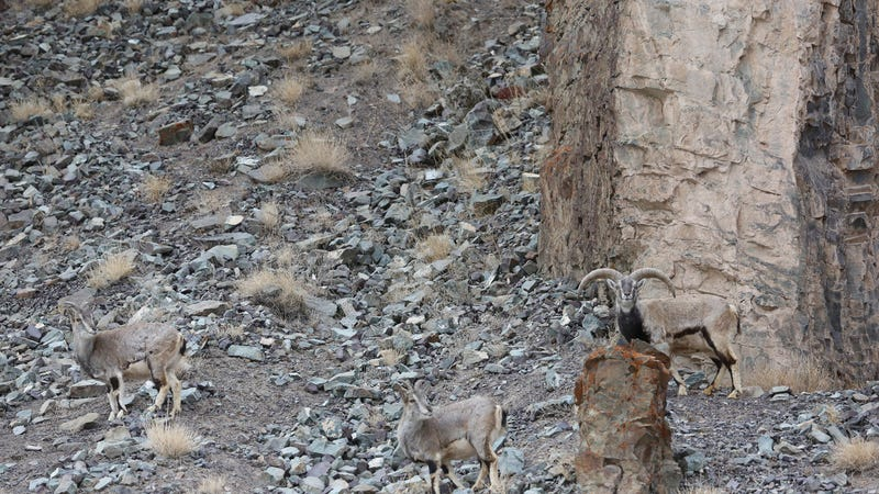 Can You Find the Perfectly Camouflaged Snow Leopard Hidden on This Mountainside?