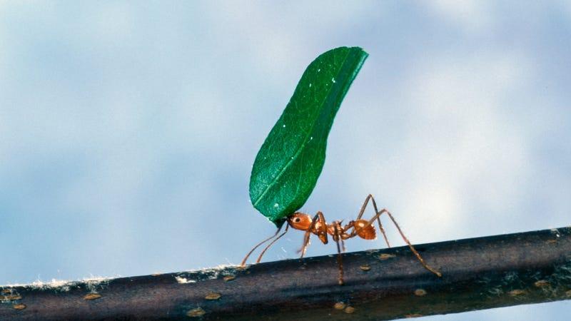 Illustration for article titled Por qué mueren las hormigas cuando muere la reina