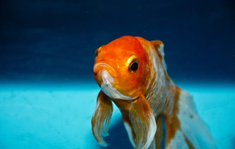 Illustration for article titled El truco para mantener con vida los peces de acuario al menos 15 años