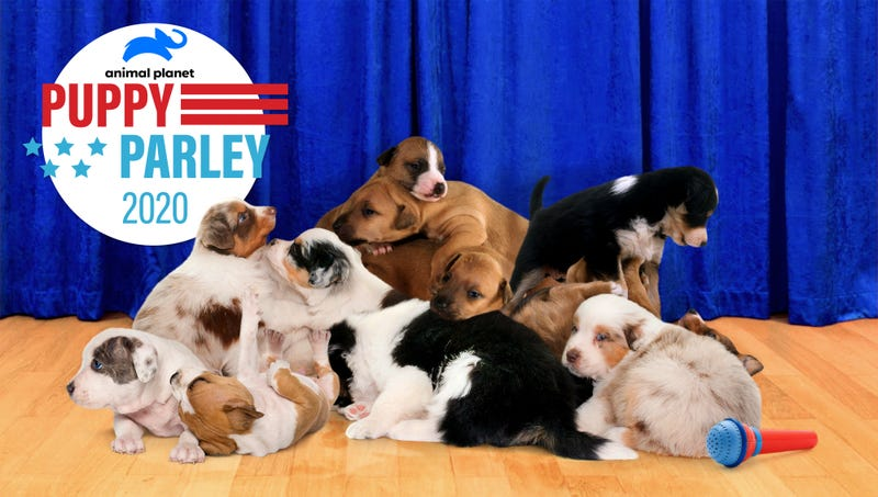 Illustration for article titled 13.5 Million Americans Tune In To Watch Animal Planet's 'Puppy Parley' During DNC Debate Halftime Show