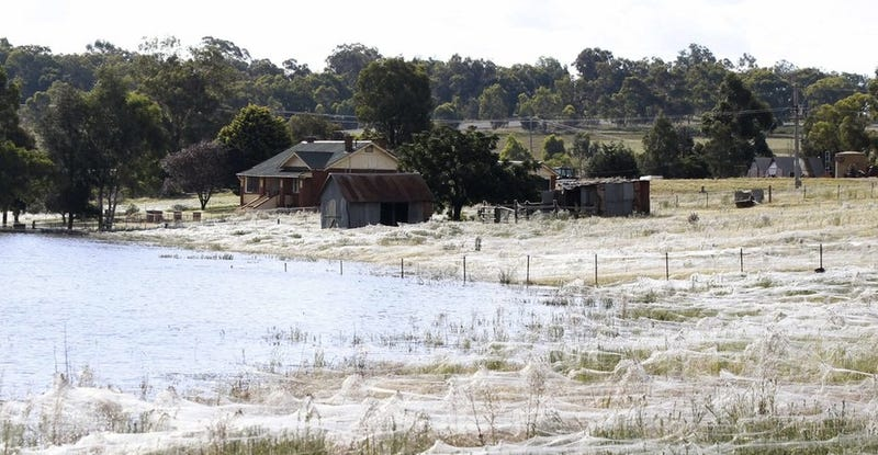 Illustration for article titled Massive spiderwebs engulf Australian town as arachnids escape floods