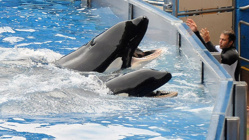 Illustration for article titled SeaWorld SaysTilikum, the Orca from Blackfish, Is Suffering from Declining Health