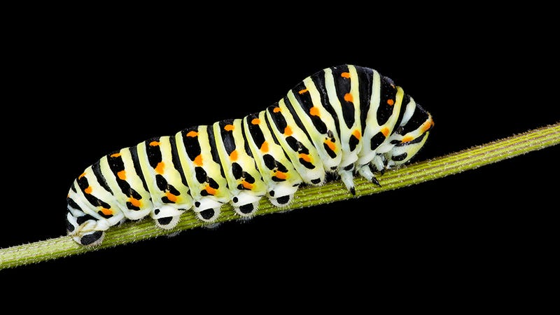 Caterpillar of Papilio machaon Photo: Wikipedia